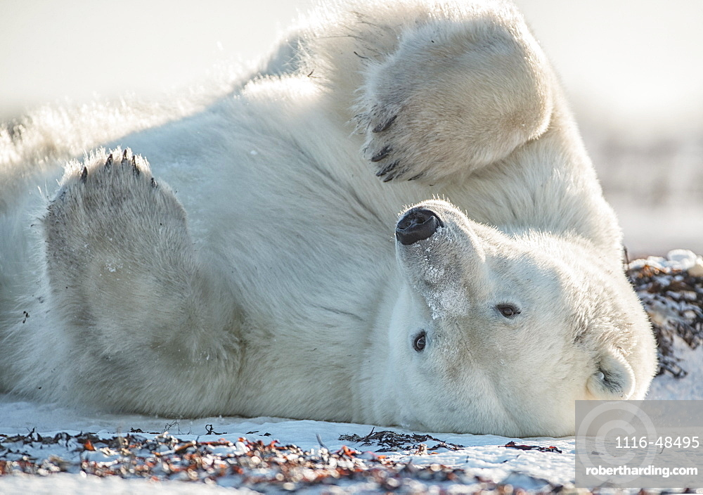 Polar bear (Ursus maritimus) in the snow on its back, Churchill, Manitoba, Canada