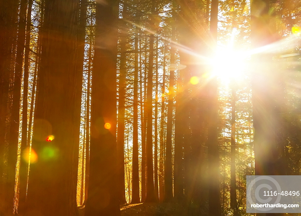 Sunlight shining brightly through the trees in a forest at Red Willow Park: Surrey, British Columbia, Canada