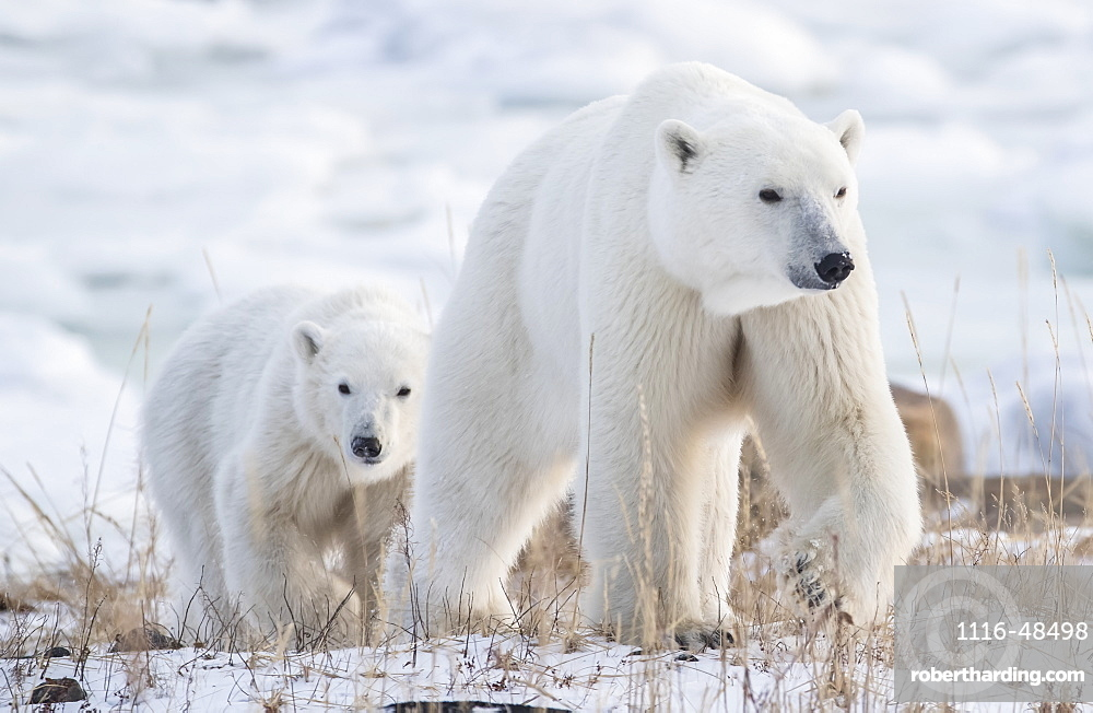 Mother and cub Polar bears (Ursus maritimus) walking in the snow, Churchill, Manitoba, Canada