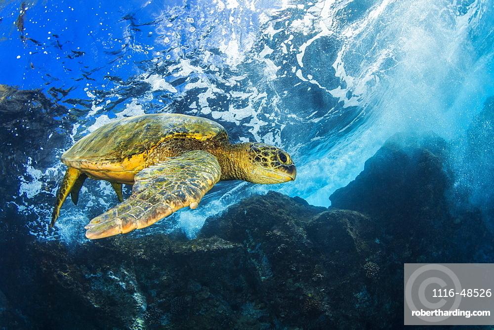 Hawaiian Green Sea Turtle (Chelonia mydas), Maui, Hawaii, United States of America