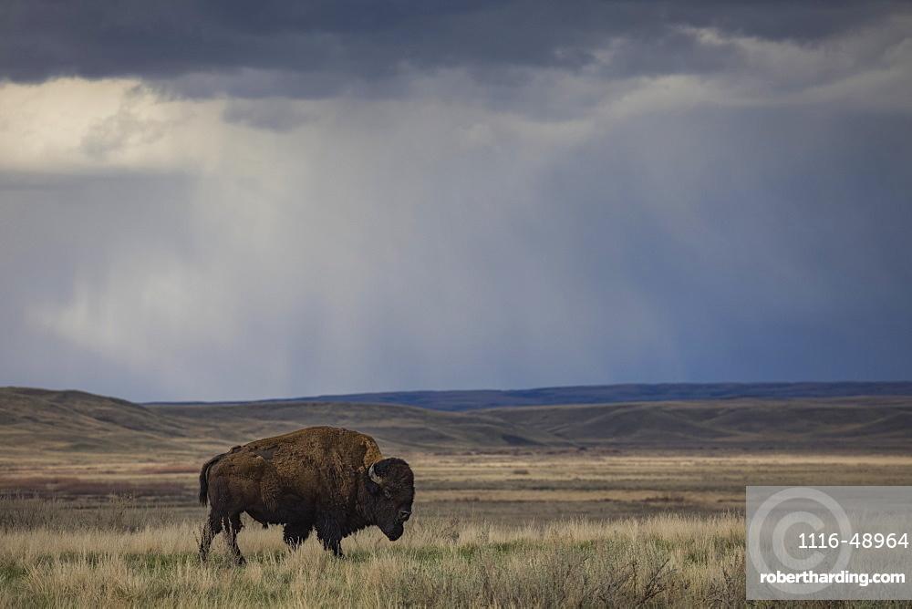 Bison (bison bison) walking in the prairies, Grasslands National Park, Saskatchewan, Canada