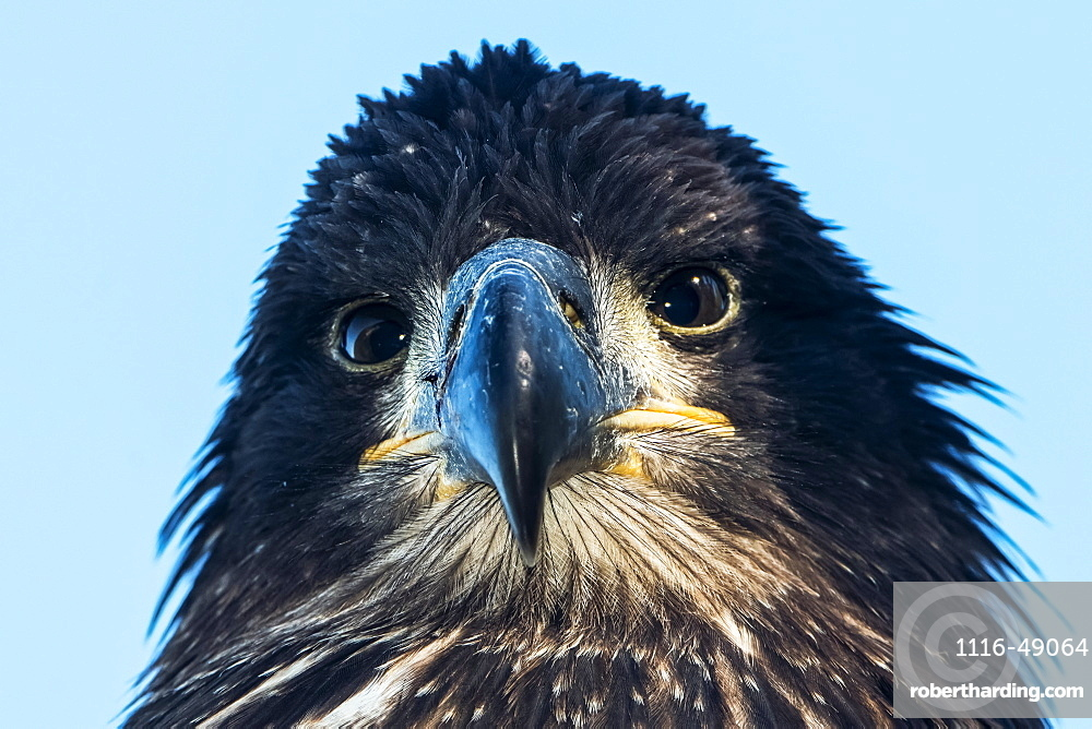 Close-up of an immature Bald Eagle (Haliaeetus leucocephalus), just fledged from nest, Yukon, Canada
