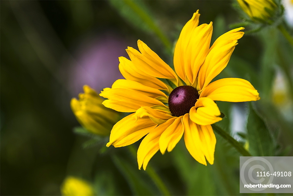 Black-eyed Susan (Rudbeckia hirta) blooms in a flower garden, Astoria, Oregon, United States of America