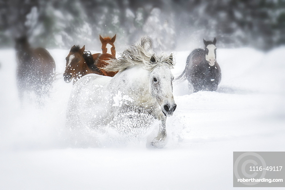 Horses running through a field of deep snow, Montana, United States of America