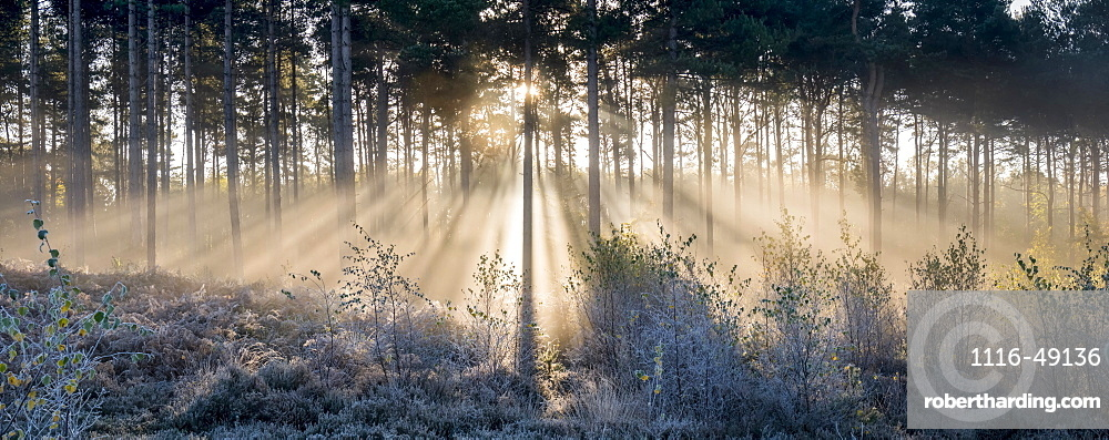 Sunbeams shine through trees to a frosty ground, Surrey, England