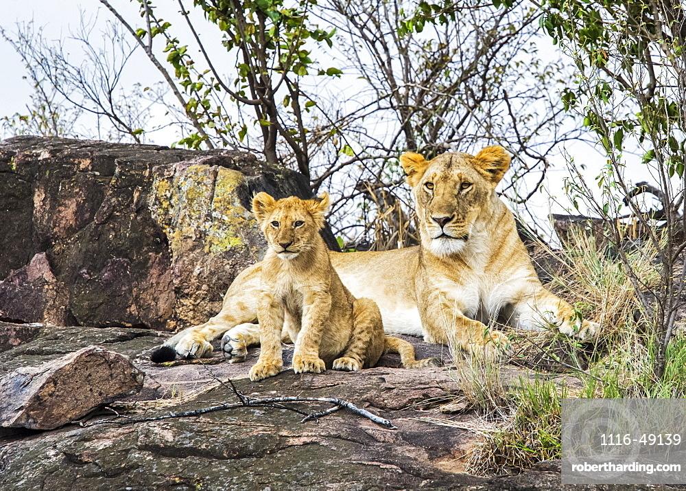 Lioness (Panthera leo) and cub, Serengeti, Kenya