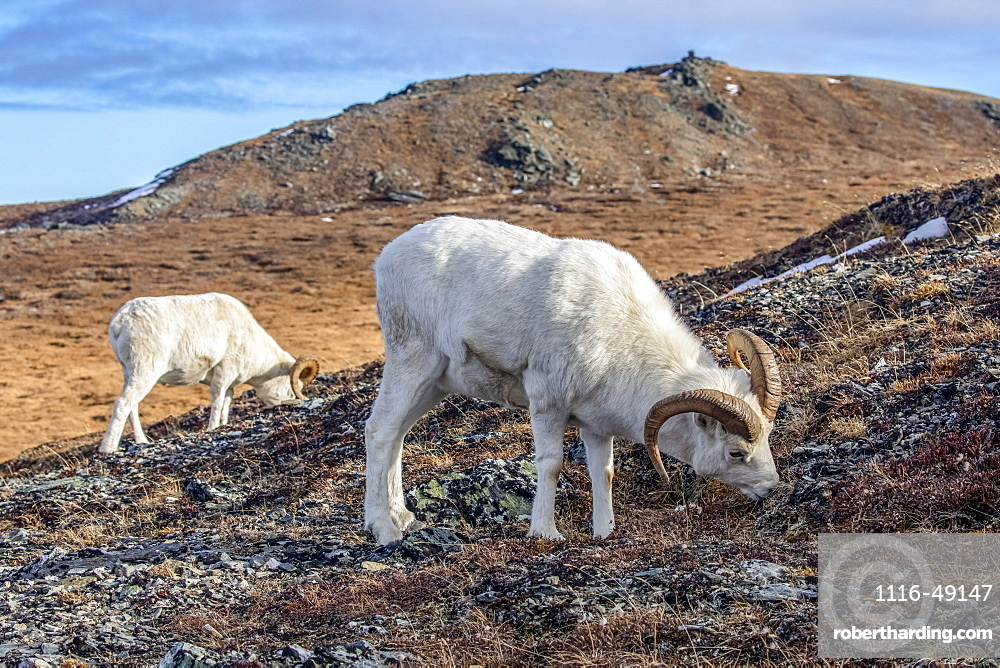 Dall Sheep rams (Ovis dalli) grazing on grass in the high country in Denali National Park and Preserve in Interior Alaska in autumn. Rams often travel in groups during this pre-rut time of year, Alaska, United States of America