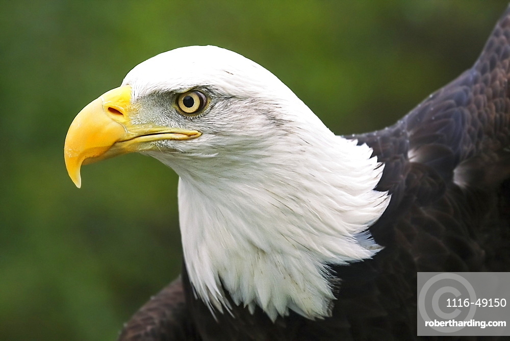 Portrait of a bald eagle (Haliaeetus leucocephalus), Denver, Colorado, United States of America