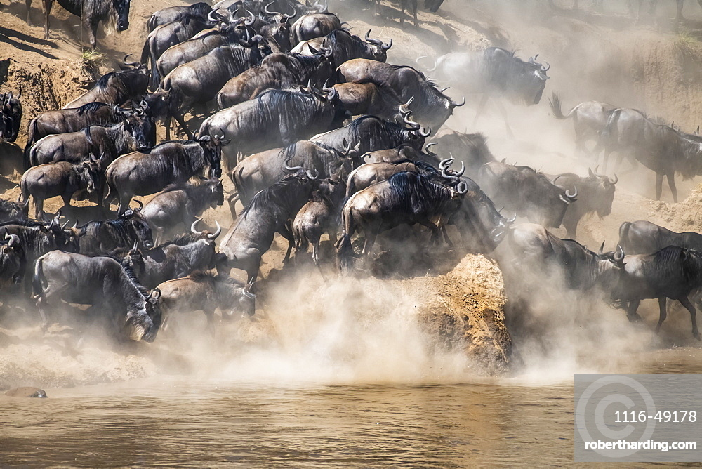 Wildebeest (Connochaetes taurinus) crowd together as they run along the shore of the Mara River looking for a place to cross, Serengeti National Park, Tanzania