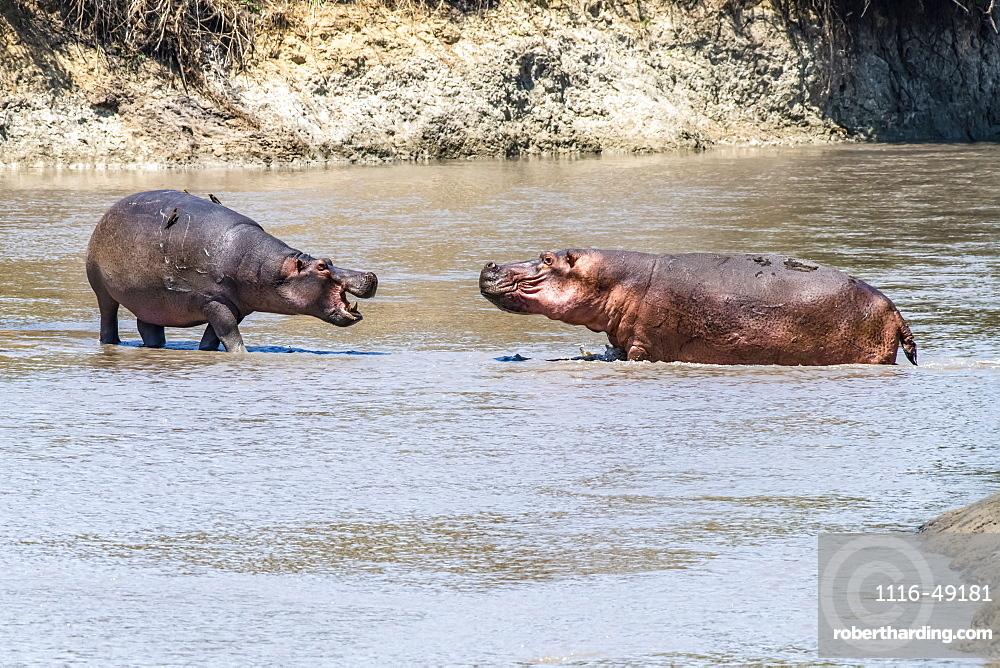 Two Hippopotamus (Hippopotamus amphibious) face off aggressively in shallow water in Katavi National Park, Tanzania