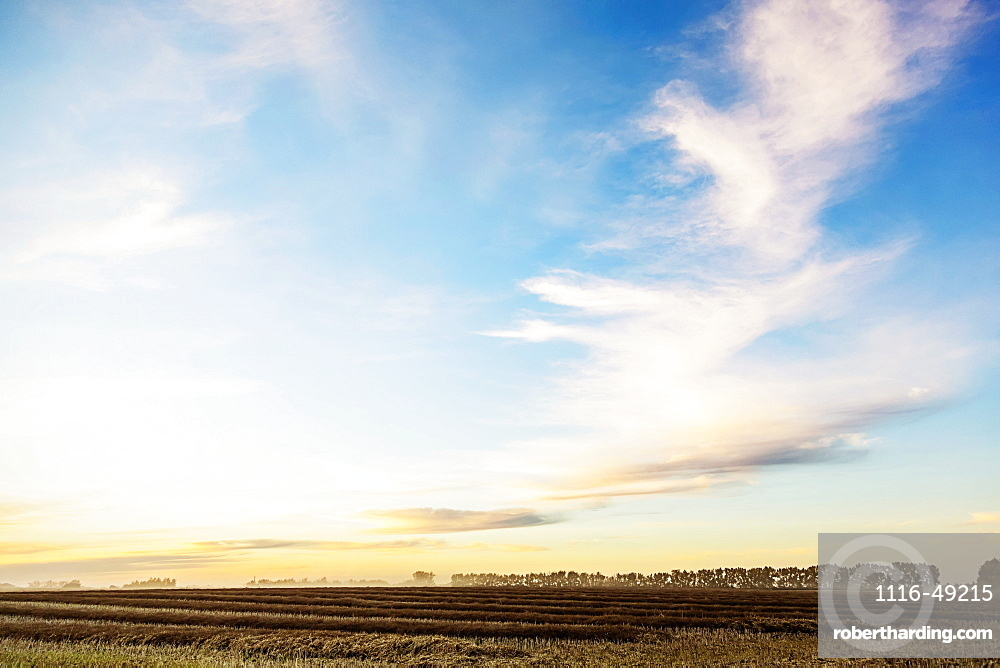A canola field at sunset after it has been swathed and ripened ready to harvest, Legal, Alberta, Canada