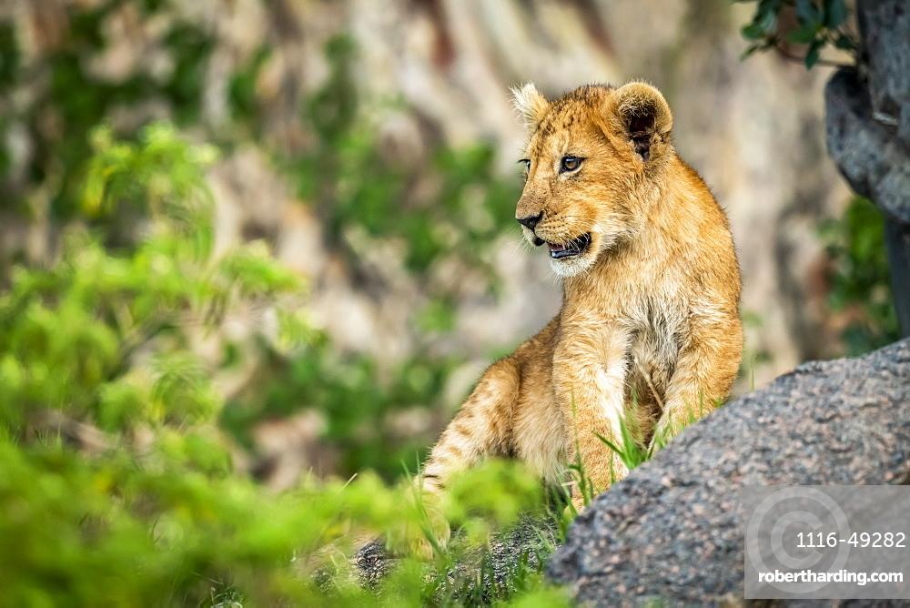Lion cub (Panthera Leo) sits on rock among bushes, Serengeti, Tanzania