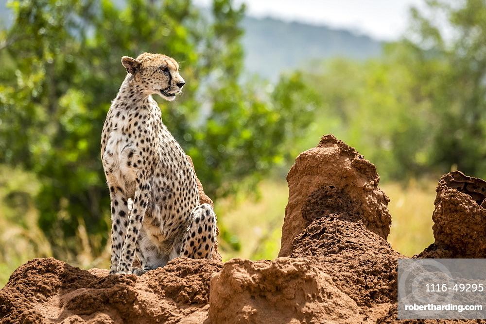 Cheetah (Acinonyx jubatu) sitting on termite mound turning head, Serengeti, Tanzania