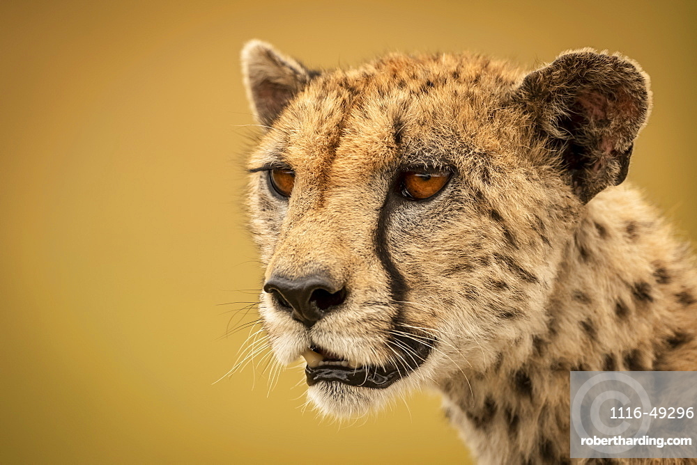 A cheetah (Acinonyx jubatus) is staring into the distance in a close-up of her face and neck. She has brown fur covered with black spots, and the background bokeh is a smooth and creamy gold, Serengti, Tanzania