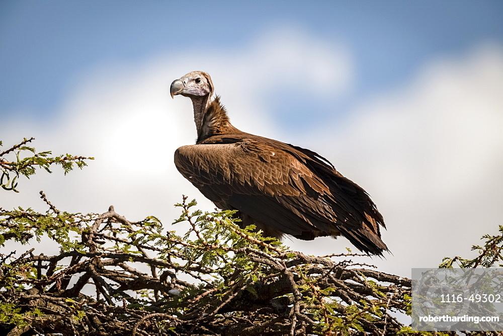 Lappet-faced vulture (Torgos tracheliotos) on thorn tree with catchlight, Serengeti, Tanzania