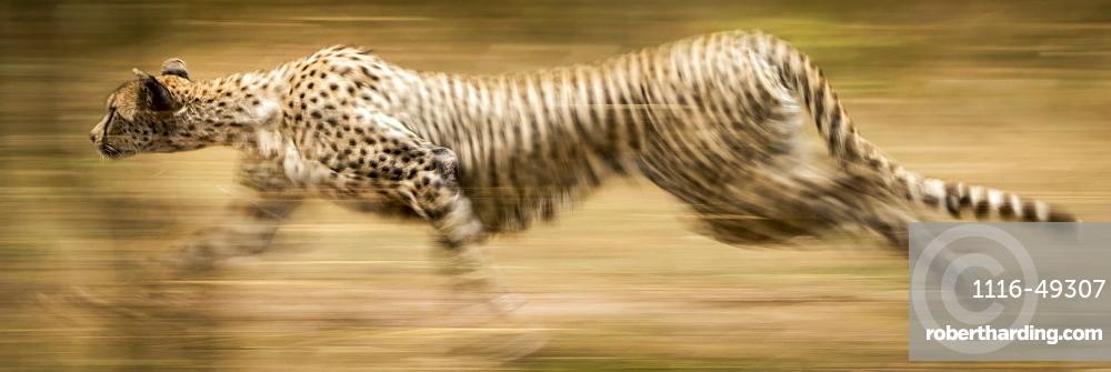 Panorama of slow pan of sprinting cheetah (Acinonyx jubatus), Serengeti, Tanzania