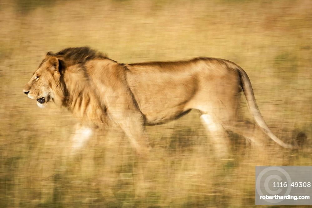 Slow pan of male lion (Panthera leo) walking left, Serengeti, Tanzania