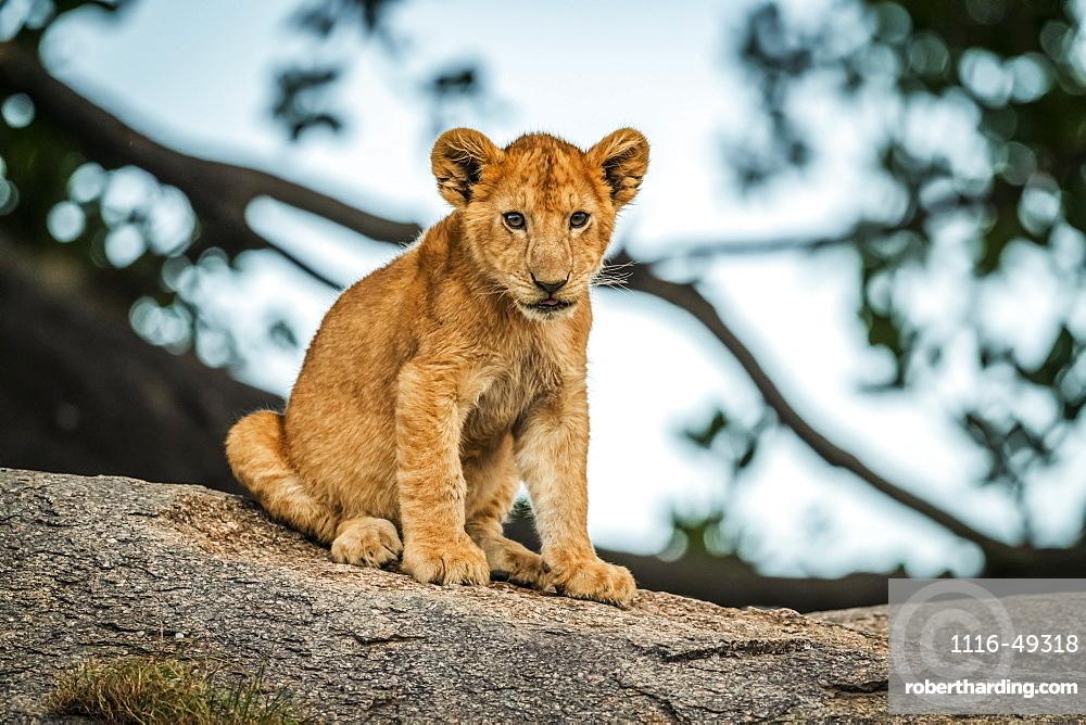 Lion cub (Panthera leo) sits on rock by tree, Serengeti, Tanzania