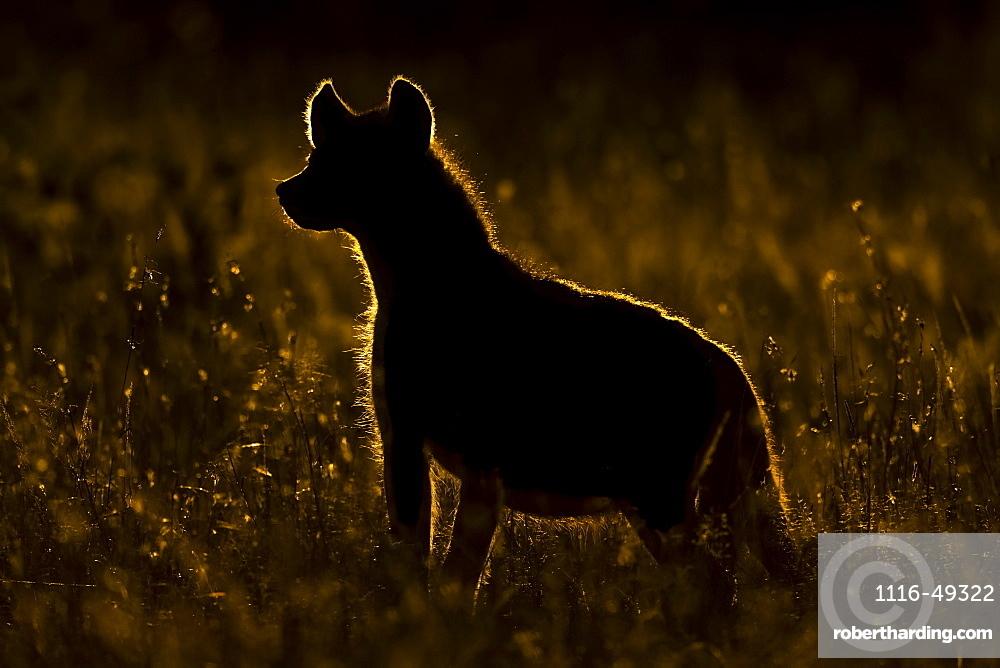 Rimlit spotted hyena (Crocuta crocuta) standing in long grass, Serengeti, Tanzania