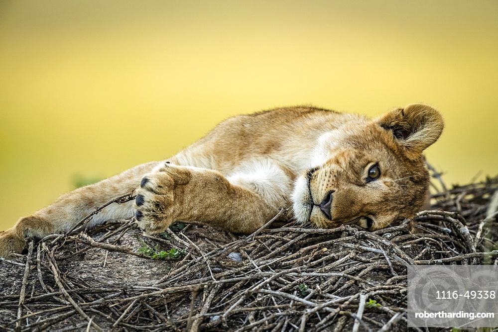 Close-up of lion cub (Panthera leo) lying on twigs, Serengeti, Tanzania