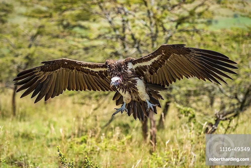 Lappet-faced vulture (Torgos tracheliotos) glides towards landing among bushes, Serengeti, Tanzania
