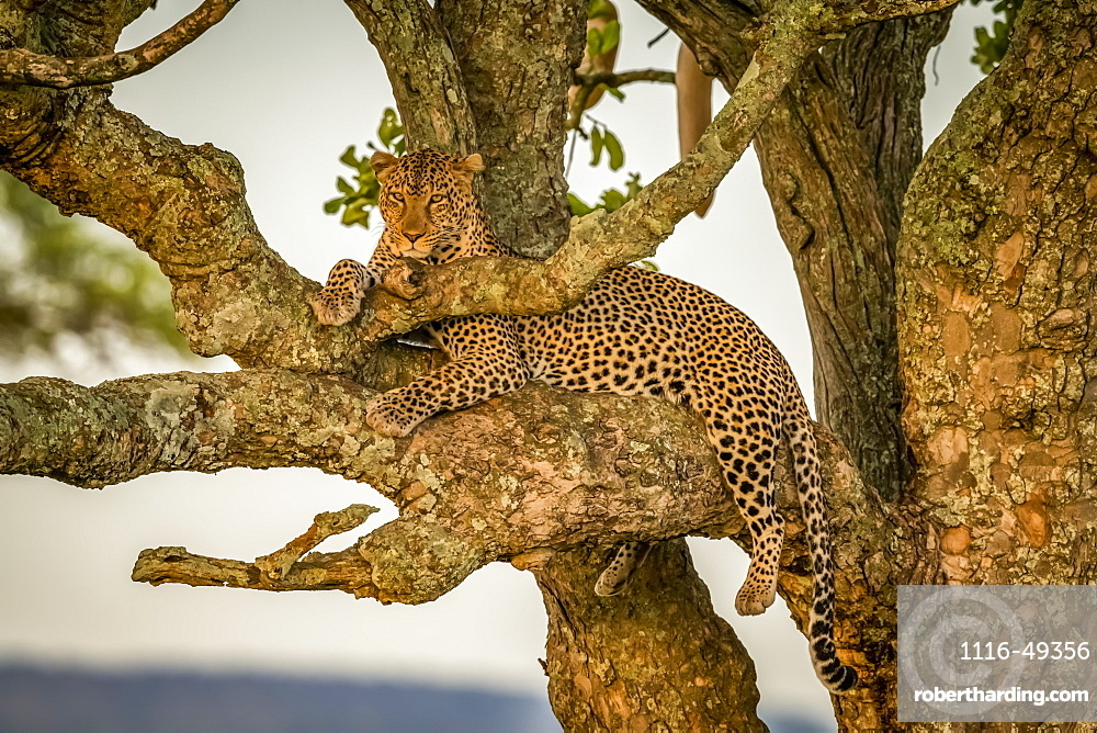 Male leopard (Panthera pardus) sits in branches eyeing camera, Serengeti, Tanzania