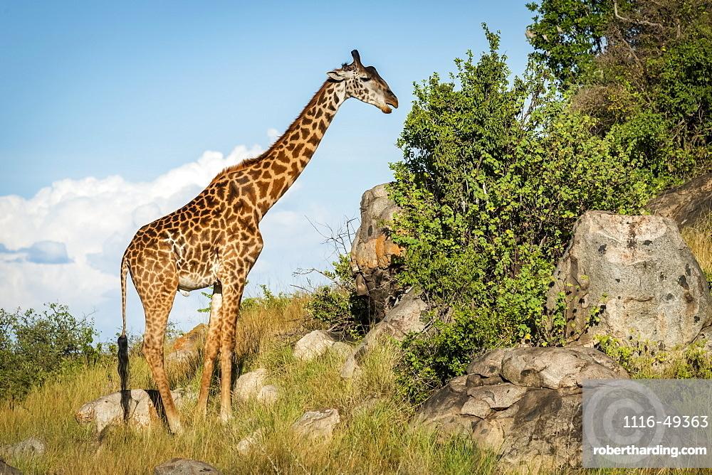 Masai giraffe (Giraffa camelopardalis tippelskirchii) browsing bushes on rocky slope, Serengeti, Tanzania