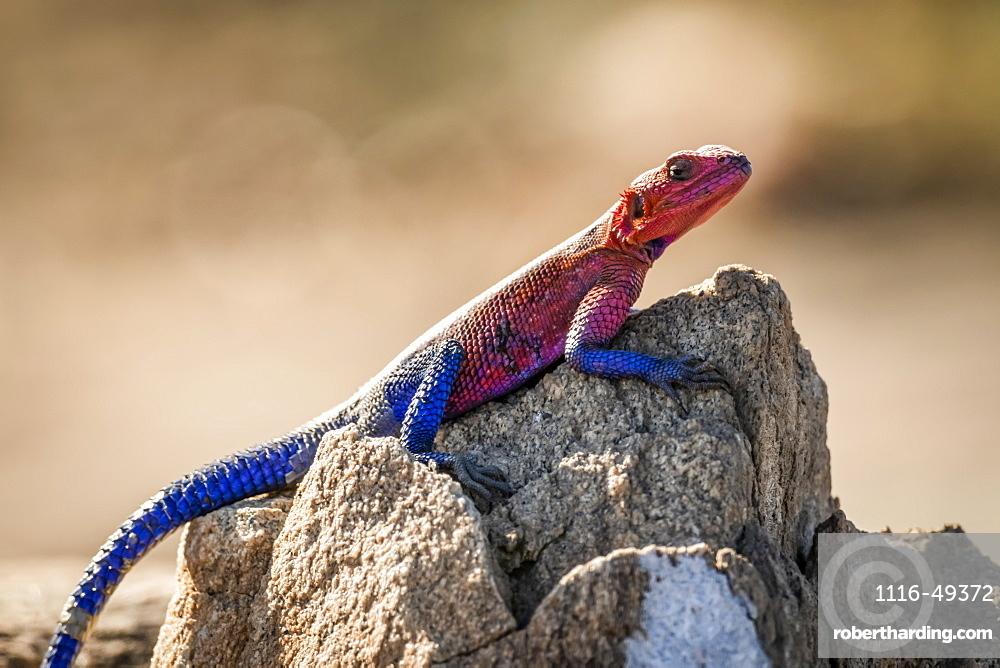 Spider-Man agama (Agama mwanzae) lizard basks on sunlit rock, Serengeti, Tanzania