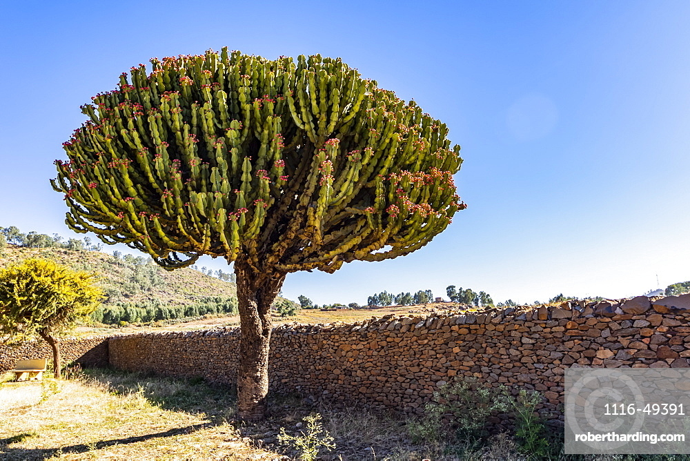 Arborescent cactus by the Dungur Palace, known locally as the Palace of the Queen of Sheba, Axum, Tigray Region, Ethiopia