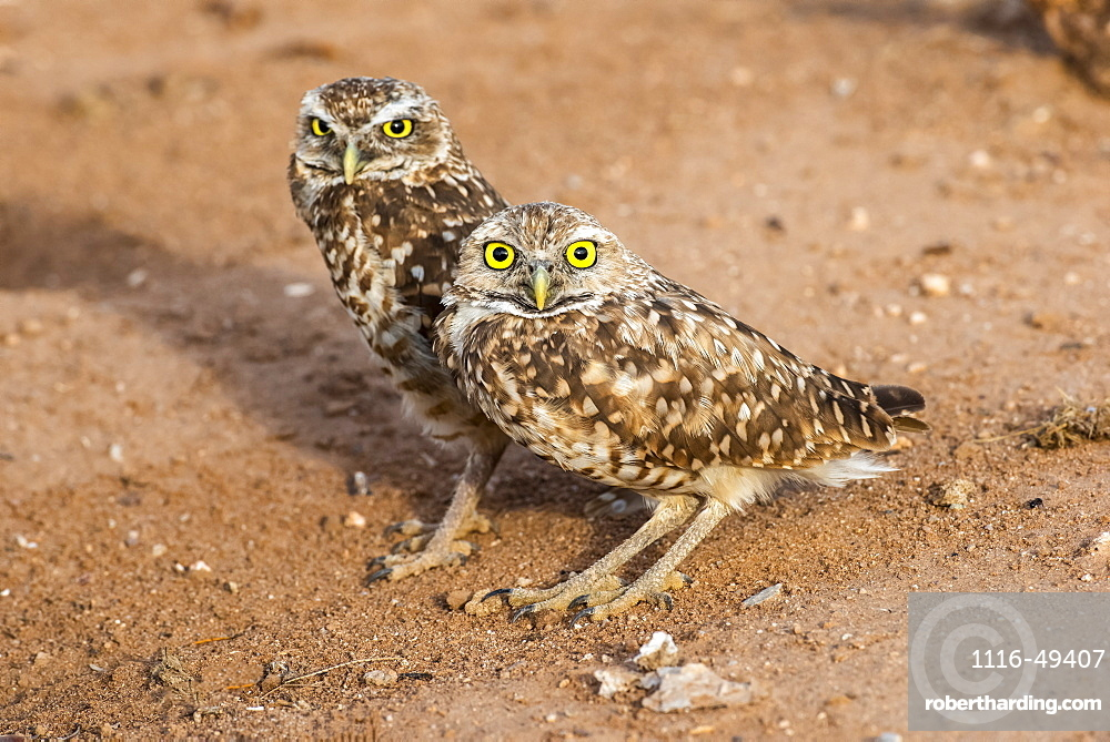 Two Burrowing Owls (Athene cunicularia), perched side by side near entrance to their burrow, Casa Grande, Arizona, United States of America