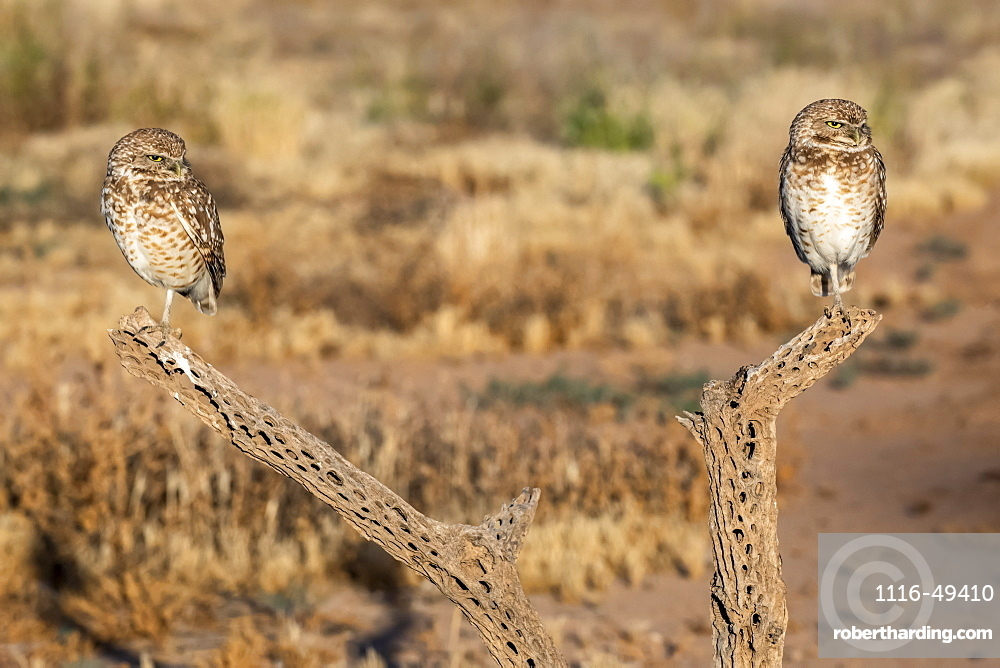 Pair of Burrowing Owls (Athene cunicularia) perched on Cholla cactus (Cylindropuntia) skeleton, Casa Grande, Arizona, United States of America