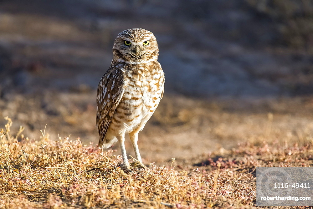 Burrowing Owl (Athene cunicularia) perched on the ground, Casa Grande, Arizona, United States of America