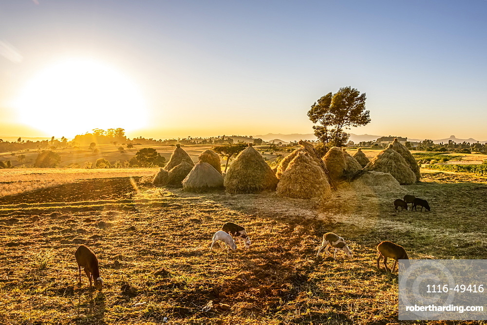 Goats and haystacks in the fields of teff (Eragrostis tef), Jib Gedel, Amhara Region, Ethiopia