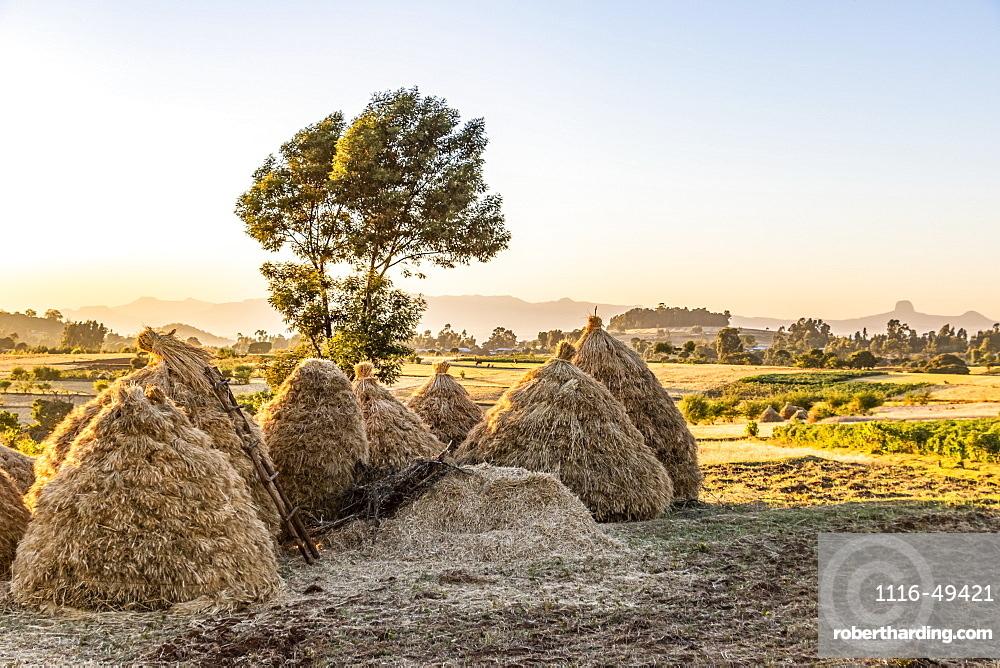 Fields of Teff (Eragrostis tef), Jib Gedel, Amhara Region, Ethiopia
