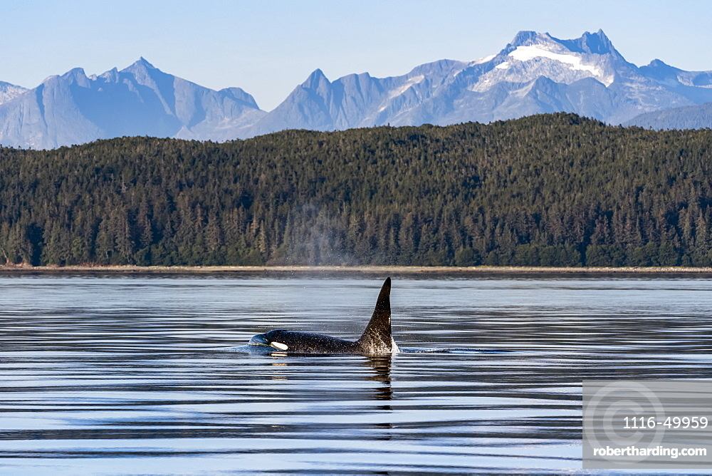 Killer whale (Orcinus orca) surfacing beside the Coastal range, Inside Passage, Lynn Canal; Alaska, United States of America