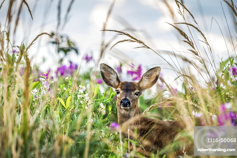 A Black-tailed deer (Odocoileus hemionus) finds concealment in tall grass at Cape Disappointment State Park; Ilwaco, Washington, United States of America