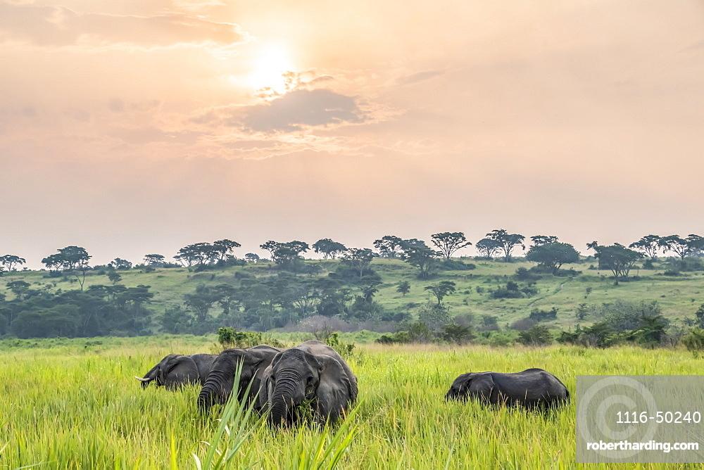 African Elephant (Loxodonta) herd at sunset, Queen Elizabeth National Park; Western Region, Uganda