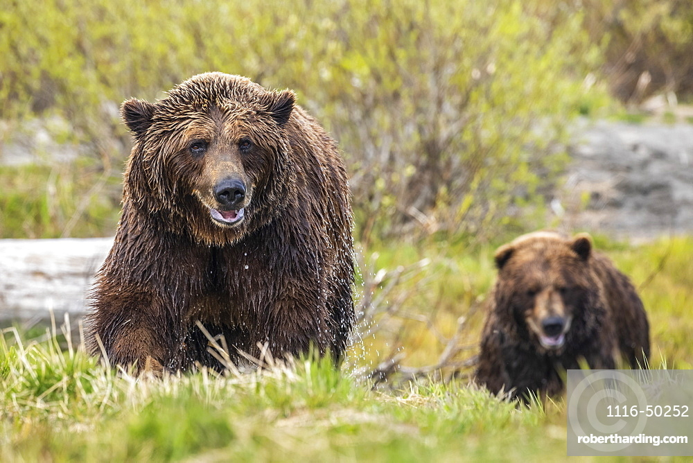 Brown bear boar and sow (Ursus arctos) together, sow (female) in the foreground, wet from swimming in the river, Alaska Wildlife Conservation Center, South-central Alaska; Alaska, United States of America