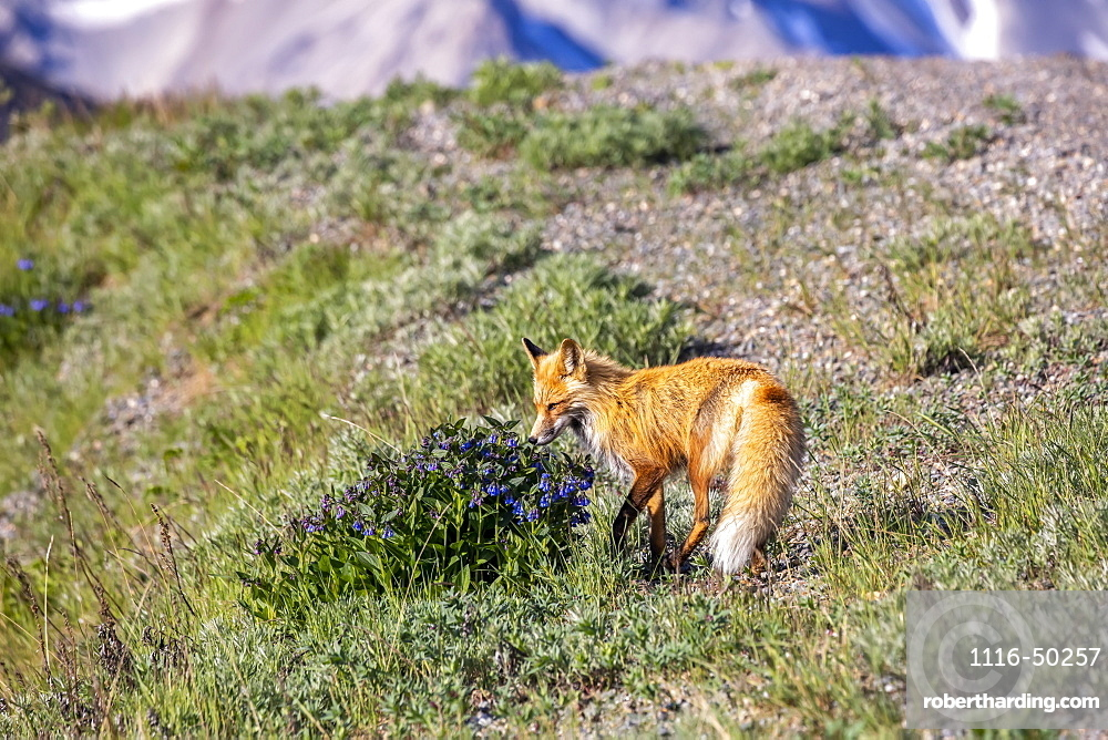 A Red fox (Vulpes vulpes) stops to sniff a bush of bluebells (Hyacinthoides) before continuing his hunt along the road, Denali National Park and Preserve; Alaska, United States of America