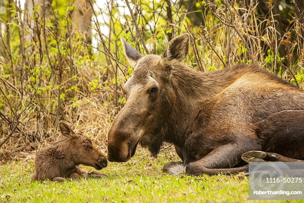 Tender moment between cow moose (Alces alces) and calf, South-central Alaska; Anchorage, Alaska, United States of America