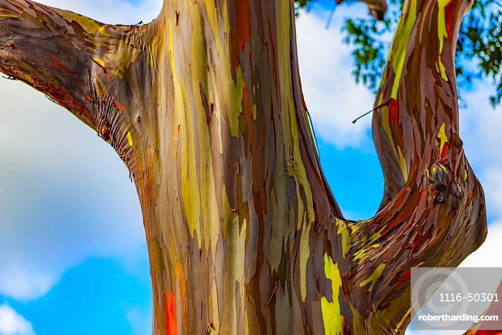 Rainbow Eucalyptus tree (Eucalyptus deglupt); Hawaii, United States of America