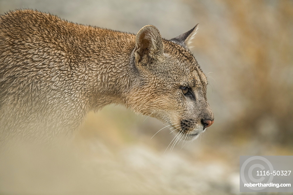 Side view of a Puma in Southern Chile; Chile