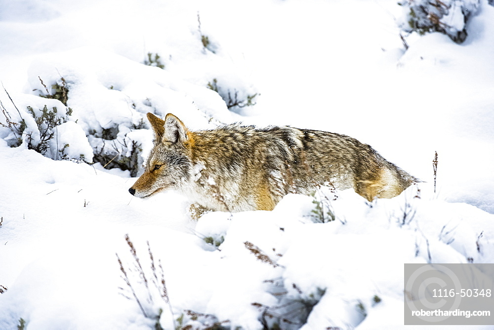 Coyote (Canis latrans) trudging through deep snow in Yellowstone National Park; Wyoming United States of America