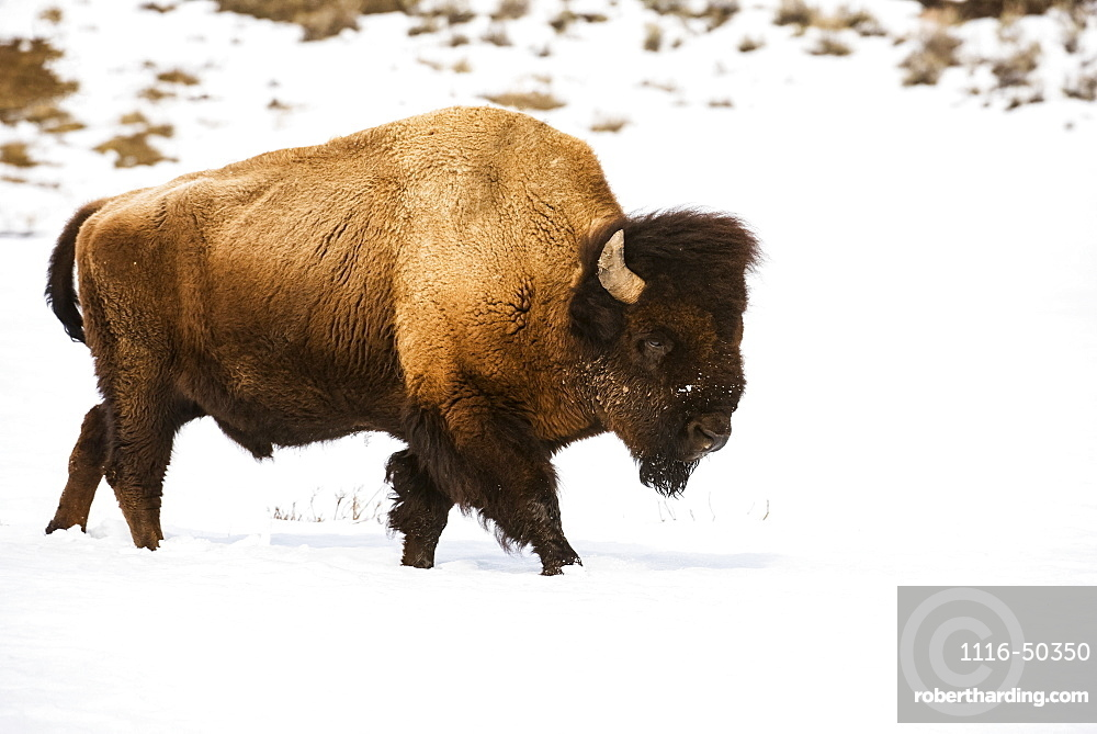 American Bison bull (Bison bison) walking through winter snow in the Lamar Valley, Yellowstone National Park; Wyoming, United States of America
