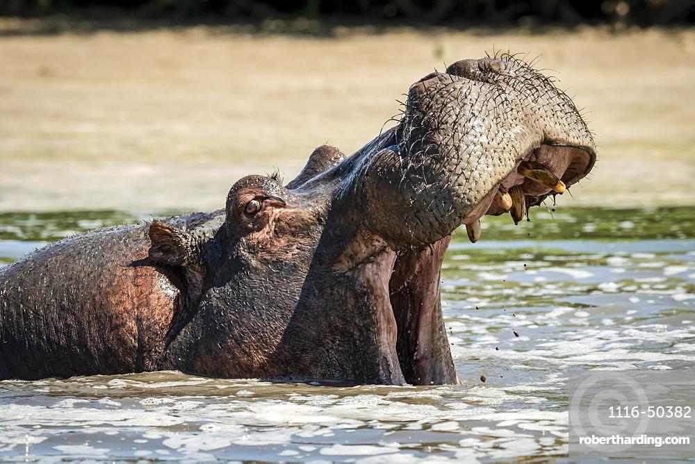 Hippo (Hippopotamus amphibius) opens mouth in foamy river water, Grumeti Serengeti Tented Camp, Serengeti National Park; Tanzania