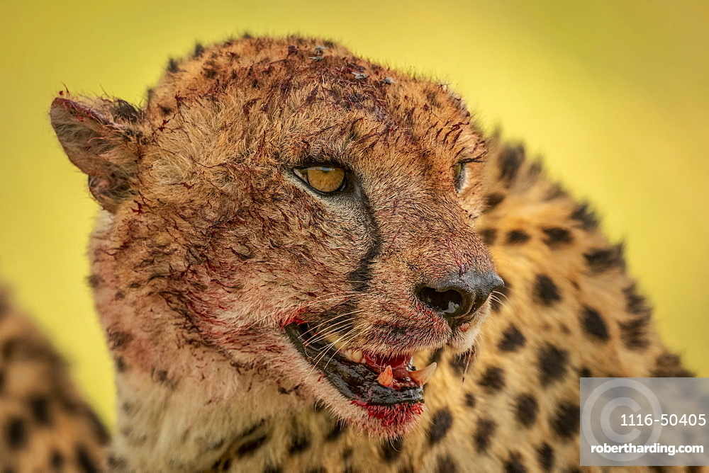 Close-up of cheetah (Acinonyx jubatus) turning blood-stained head right, Klein's Camp, Serengeti National Park; Tanzania