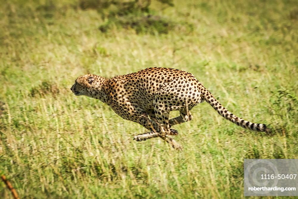 Cheetah (Acinonyx jubatus) at full speed with legs bunched, Klein's Camp, Serengeti National Park; Tanzania