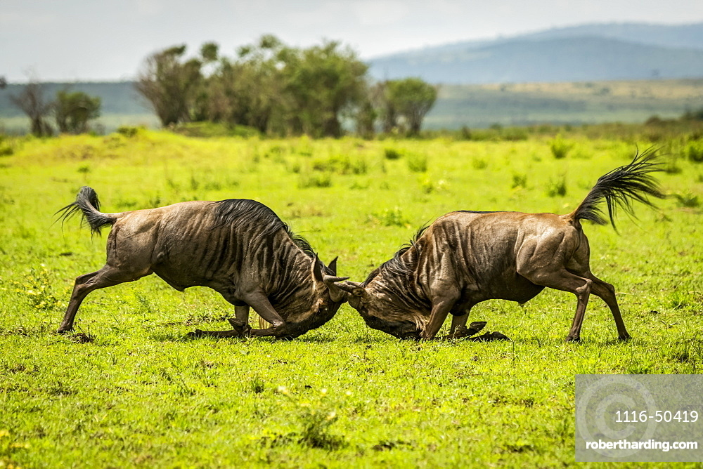 Two male blue wildebeest (Connochaetes taurinus) fighting in grassland, Cottar's 1920s Safari Camp, Maasai Mara National Reserve; Kenya