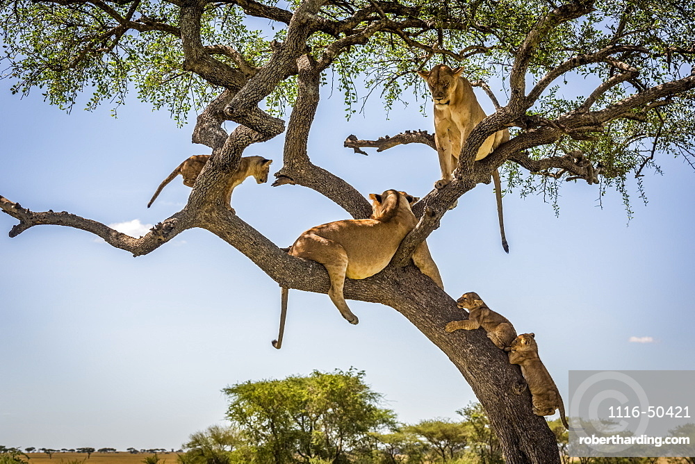 Two lionesses and three cubs (Panthera leo) lie in a tree, Grumeti Serengeti Tented Camp, Serengeti National Park; Tanzania
