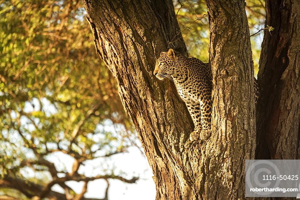 Leopard (Panthera pardus) looking out from fork of tree, Grumeti Serengeti Tented Camp, Serengeti National Park; Tanzania